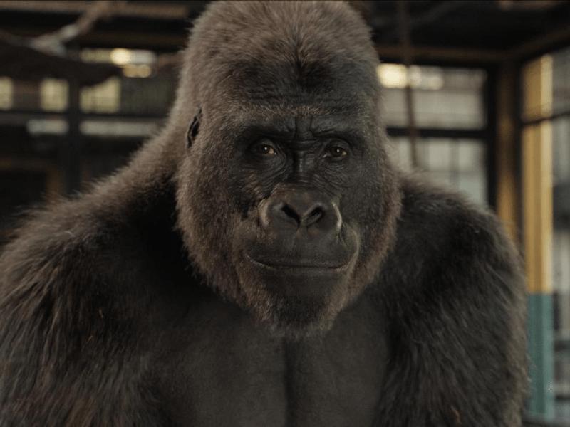Ivan the Silverback Gorilla